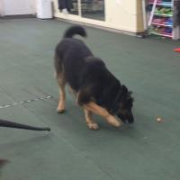 Confidence building, German Shepherd, Bravery, training fearful dogs, reactive dogs